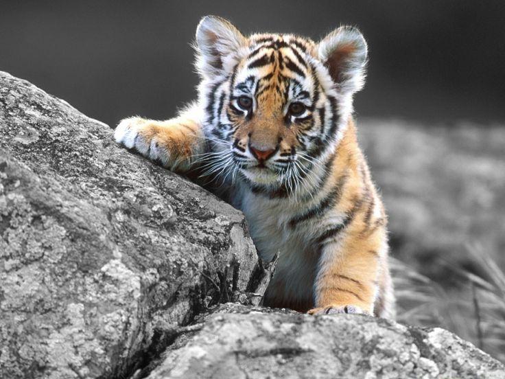 Fabuleux Les 25 meilleures idées de la catégorie Tigre 1050 sur Pinterest  QF04
