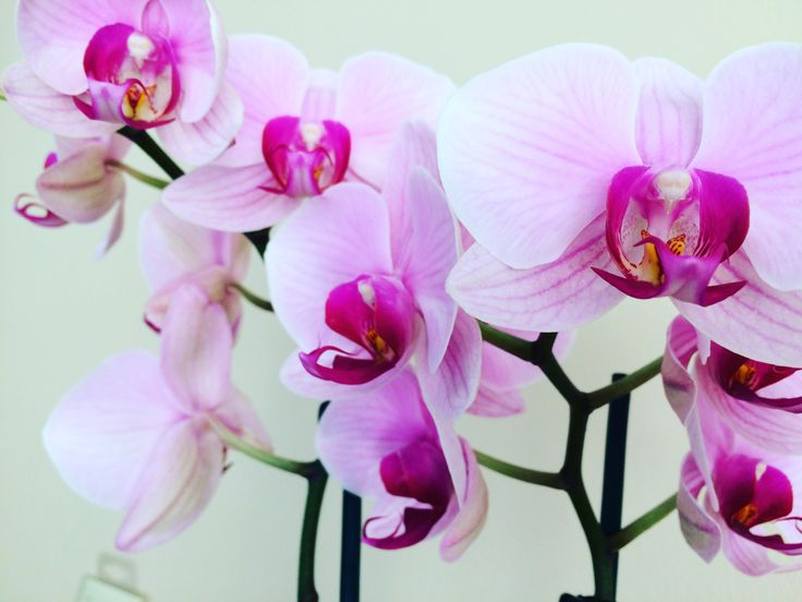 Orchidea at home