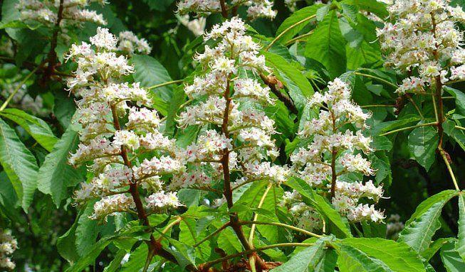 Květy kaštanu koňského (jírovce maďalu) patří mezi nejkrásnější skvosty jarní přírody. Málokdo však zná ijejich léčivousílu.