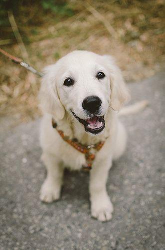 White Golden Retriever Puppy.