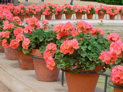 Patricia López Diseño Floral: TODO SOBRE LOS GERANIOS