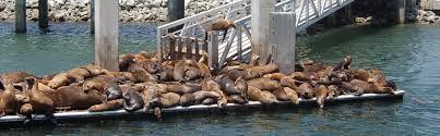 Monterey bay met een indrukwekkende hoeveelheid zeeleeuwen.