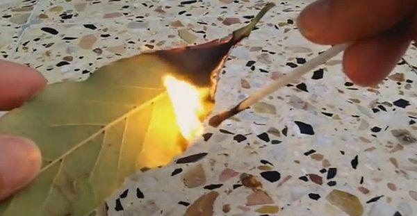 Αυτός είναι ο λόγος που πρέπει να καίτε ένα φύλλο δάφνης στο σπίτι σας!