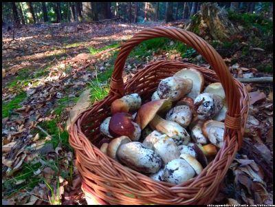 tegoroczne grzybobranie - grzyby zbierane w okresie letnim w lasach Beskidu Żywieckiego w małopolsce #grzyby #grzybobranie #mushrooms #las #forest #borowik #borowik #szlachetny #borowiki #boletus #prawdziwek #prawdziwki #runo-leśne #natura #Beskidy #Polska #Poland #grzyby-jadalne #grzyby-w-Polsce #małopolska #grzybiarz
