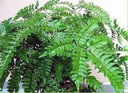 Pteridaceae.Génerode 200-250especies de helechosde hoja perenne, semi-perennesycaducas,a partir delas áreastropicales y subtropicales deAmérica del Norte ySur, pero unos pocosde las regiones templadasde Europa, Asia, Australiay América del Norte.Adiantumno esfácil de cultivarpor el jardinero de interiorpromedio.La planta crecemejoren luz difusa,brillante, peronola luz solar osombradensa.Quemafuerteluzdel follaje yla luz tenuehace queel débil…
