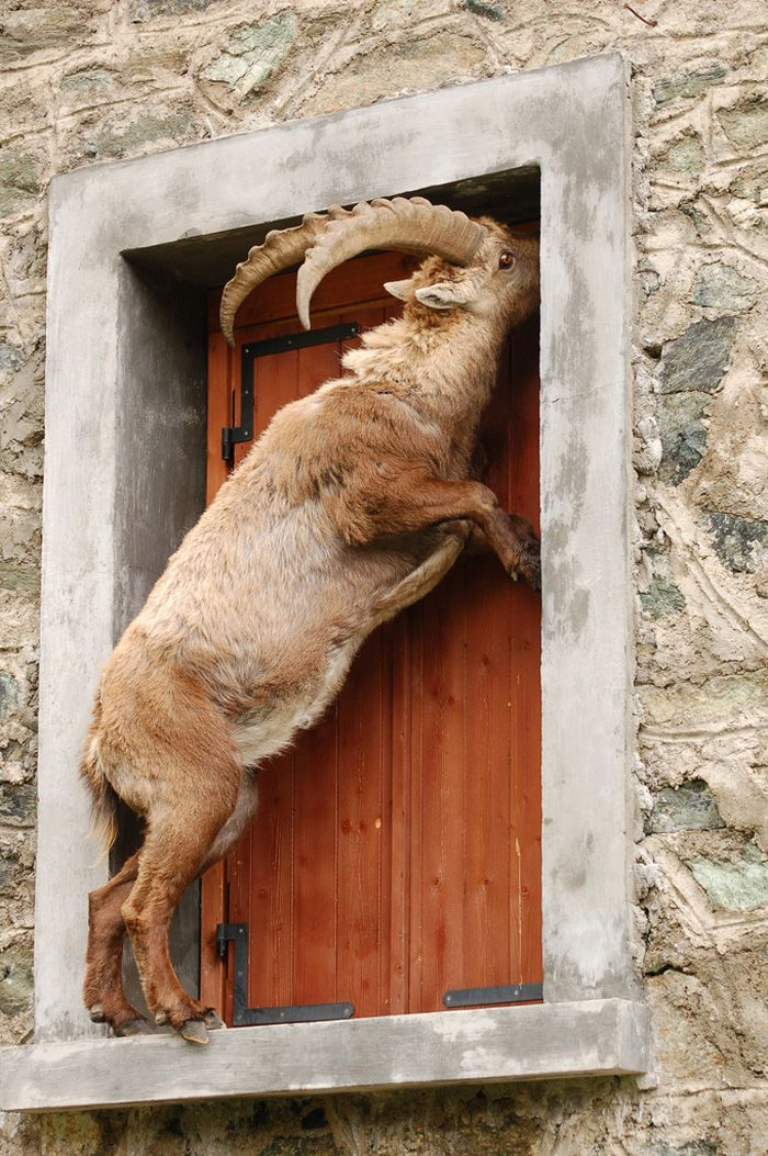"""Goat in the window: """"I have knocked at the door for hours but you've kept ignoring me!"""""""