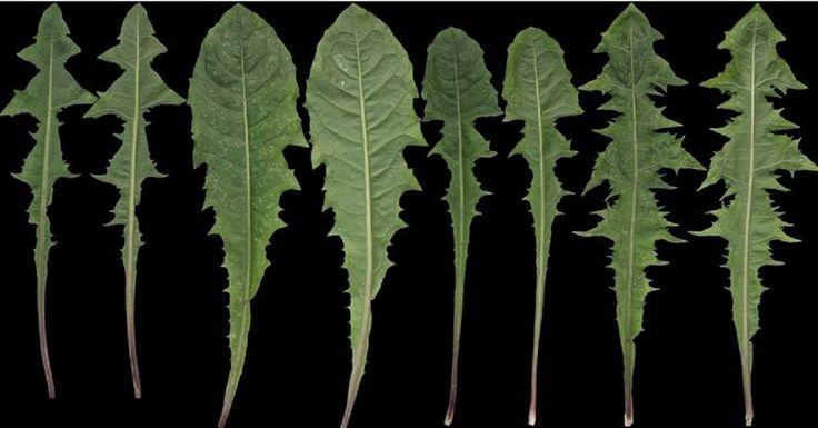 Jedna z najliečivejších rastlín, ktorú všetci obchádzame. Teraz ju už nenecháte len tak na zemi   Chillin.sk