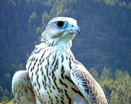"""My oldest boys first name means """"White Falcon"""" after the knight from King Author's round table who was a falconer, Sir Gwayne"""