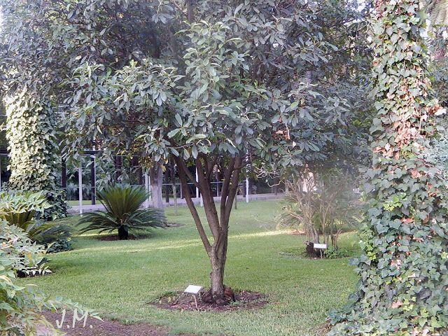 arbustosensevilla-encinarosa: Fotinia glabra - Fotinia de hoja rosa - Fotinia - ...