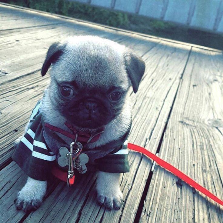 What a cutie! 💘  #pugdaily #pugs #pug #cute #puglover
