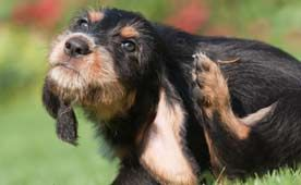 Natural home remedies for dogs: remedies for skin irritations, gas, fleas...