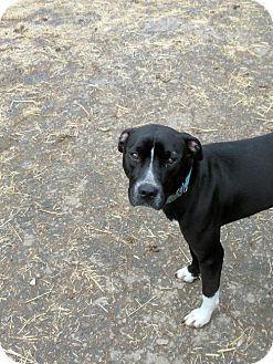 Washington, DC - Labrador Retriever/Boxer Mix. Meet Jocelyn (Needs Foster), a dog for adoption. http://www.adoptapet.com/pet/17642296-washington-dc-labrador-retriever-mix