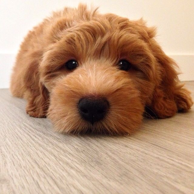 Whiskey the Goldendoodle puppy!