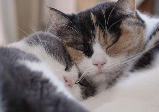 感情超好的萌貓兄妹 guremike的同步貓小日常留影