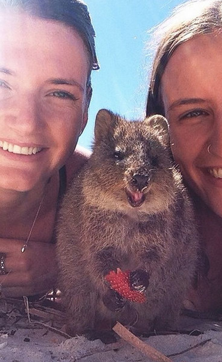 49 best Quokka Selfie images on Pinterest | Quokka, Selfie ...
