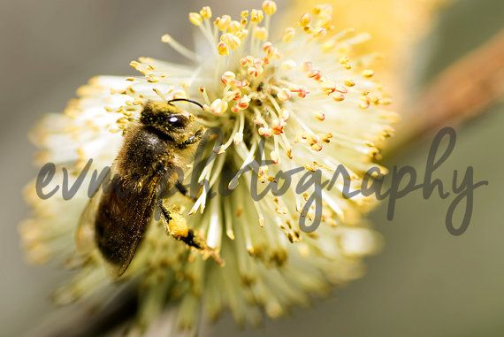 *******DIGITAL INSTANT DOWNLOAD*******  This is an original photograph of a Bee, taken by EVM Photography.  This file is available for instant