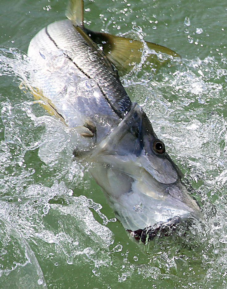 43 best snook images on pinterest saltwater fishing for Snook fishing lures