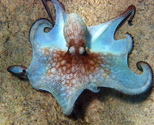 Coconut Octopus (Amphioctopus marginatus):