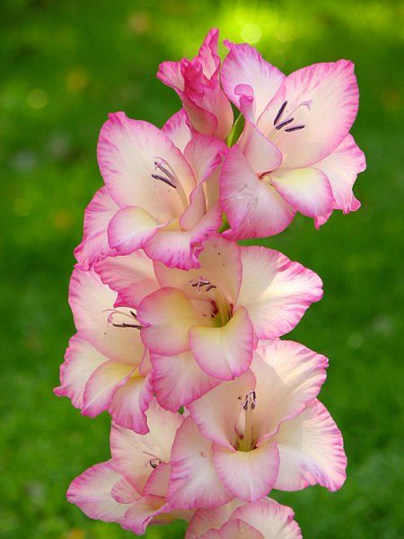 "Gladiolus (one of the official flowers of August. Meaning ""Moral Integrity."") my tattoo on my arm :)"