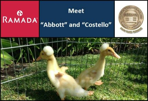 """Thank you to everyone who submitted names for our Ramada Santa Barbara name the """"Baby Crested Ducks Contest.""""  We received nearly 300 total names and in the end, Abbott and Costello were the names that were chosen.  They were first submitted by Teri Brier who is the official winner of a """"Free Night Stay """" in a Superior Gardenside Room here at the Ramada Santa Barbara.  Please make sure to follow the Ramada on all of our Social Media sites as we will be starting our next FREE NIGHT STAY…"""