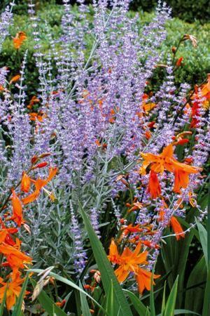 PURPLE AND ORANGE;  Perovskia 'Blue Spire' planted with Crocosmia 'Emily McKenzie'