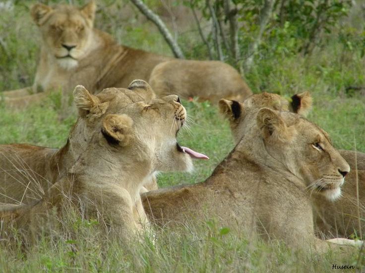 Lazy Lions, Kruger National Park, South Africa