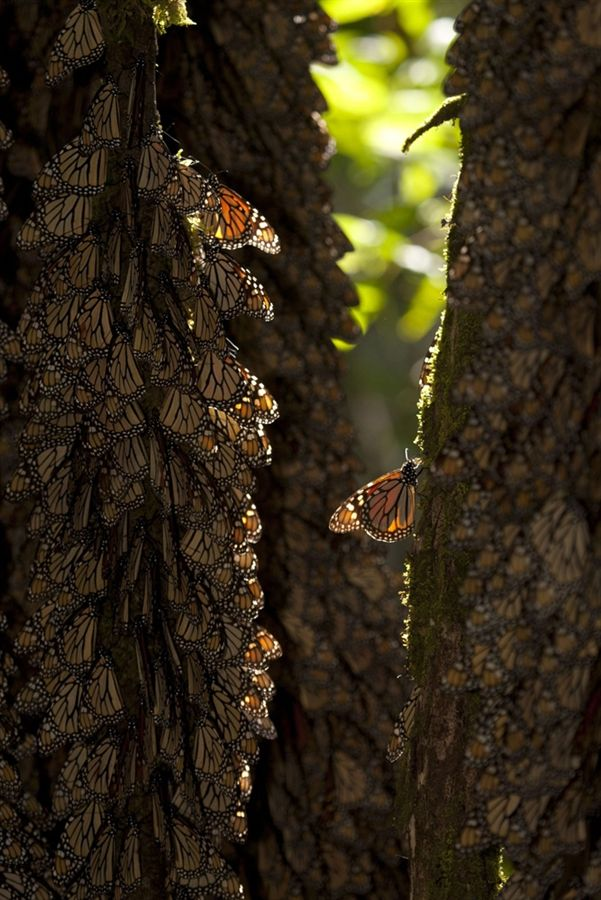 Monarch butterfly migration tree - photo#42