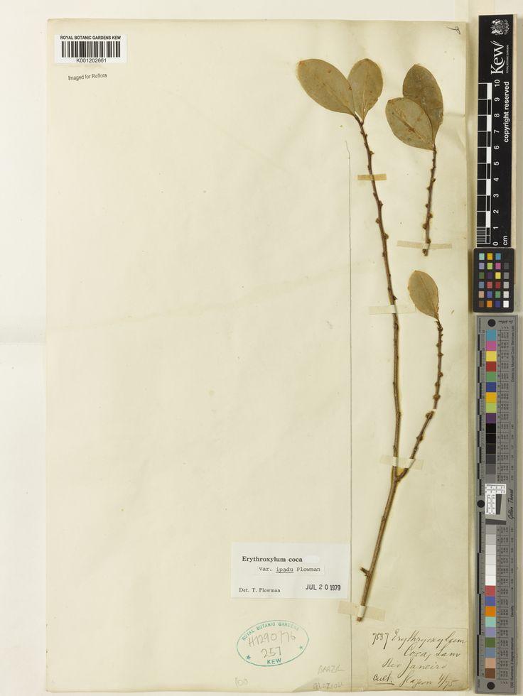 SpecimenK001202661  Current nameErythroxylum coca var. ipadu  Collector & no:Glaziou, A.F.M.       7537