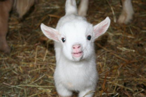 Isn't this the sweetest little face?  Pygmy baby goat.