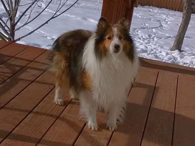 Boarder Collie Stud Dog Ksl Com Stud Dog Dogs