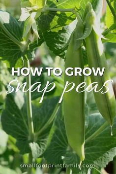Peas are pretty easy to grow in cool weather. If you're short on space, peas can be grown in containers, along walls, or up corn and sunflower stalks. Click here to learn how to grow this easy, yummy early spring vegetable!