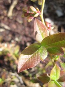 Red leaves on blueberry bush - could indicate a nitrogen deficiency.