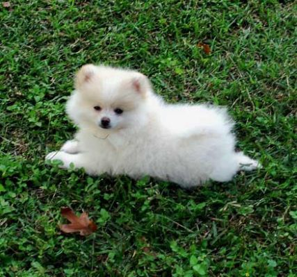 I M Allergic To Dogs Can I Have A Pomeranian