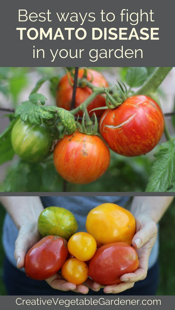 Use these best practices to help fight tomato disease in your garden.