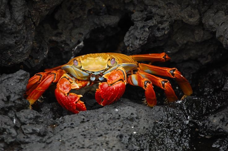 Krabbe, Rote Klippenkrabbe, Grapsus Grapsus
