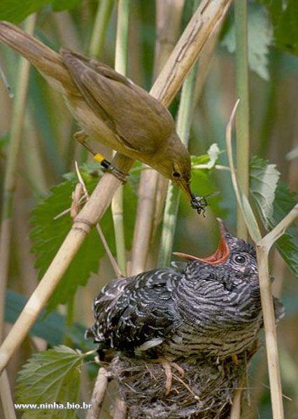 filhote de cuco sendo alimentado pelos pais adotivos