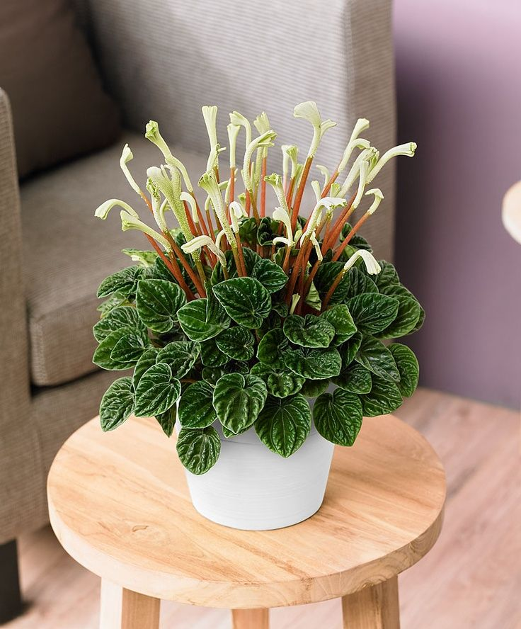 108 Best Peperomias Images On Pinterest Succulents