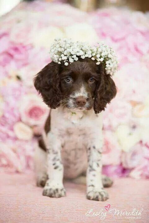 Looks like this Britt pup would rather have a pheasant or chukar wing than the pretty flower crown!