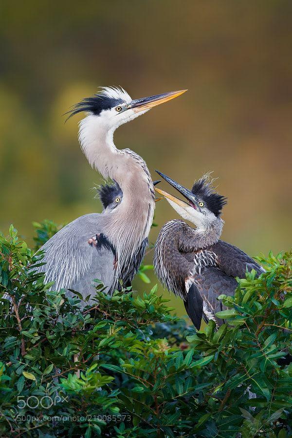 Great Blue Herons by info2595 via http://ift.tt/2pQdinY
