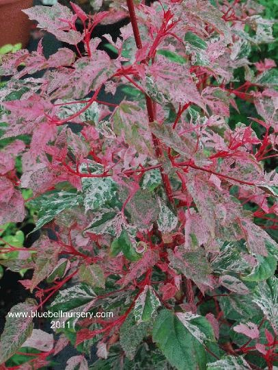 Acer x conspicuum 'Red Flamingo'  (Snakebark Maple) - Small tree with  deep red young shoots striped with white, sinous lines once mature and pink variegated new leaves in spring. As the year progresses, the leaf variegation turns to a slightly darker pink and white, which stands out well on the otherwise green leaves.