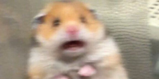 Viral Why That Screaming Hamster Isn T Funny Hamster Cute