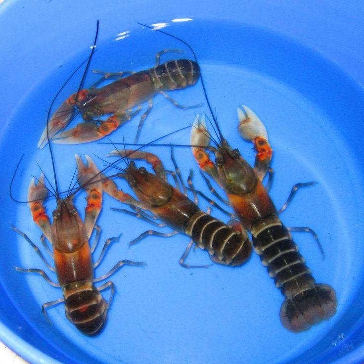aquarium supplies asian | Details about Asian Tiger Lobster Live Freshwater Aquarium fish