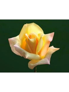 Kauniita ruusuja ja muita pihakasveja. Valikoimaan: https://www.k-rauta.fi/rautakauppa/piha-ja-vapaa-aika/pihakasvit?utm_source=K-rauta.fi&utm_medium=Pinterest&utm_campaign=Pinterest_piha_060715 #pihakasvi #ruusu #pihakukat