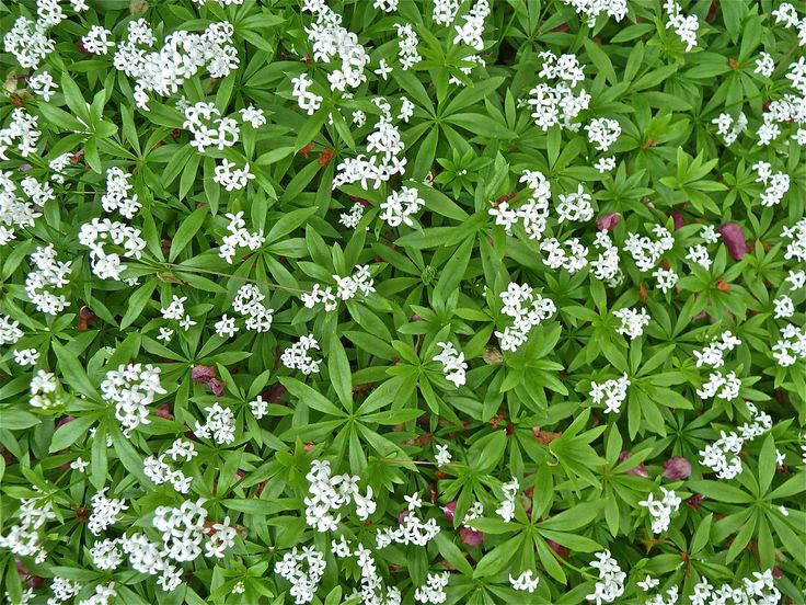 Sweet woodruff herb was originally grown for the fresh smell the leaves give off and was used as a kind of air freshener. It also has some medicinal uses and is edible. Learn more about sweet woodruff here.