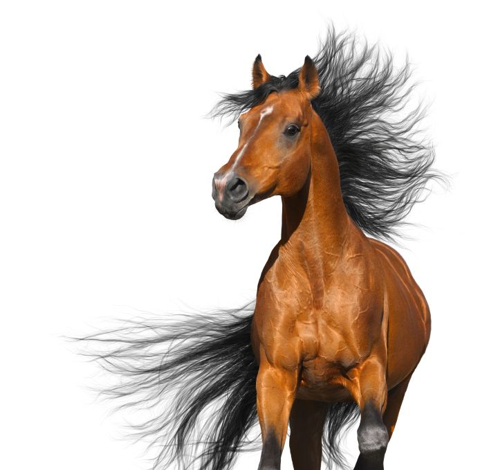 Bay Arabian Horse: Arabian Horse One, Cool Pictures, Animals Land Horses, Bays, Legged Loves, Dream Horses, Arabian Horses