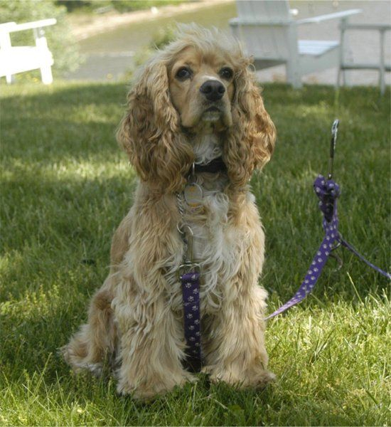 My first dog was a Cocker Spaniel named Daisy.....she looked just like this! I've been a loyal fan of the breed ever since.......