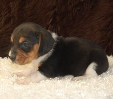 Mini Beagle Puppies for Sale-NEW LITTER-7 Males!!!