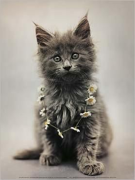 @Lisa Dillard Maine coon kitten by Hale; do I see daisies on that cat?