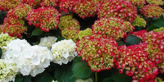"""Flores de Hortensias - Etimológicamente, su nombre científico Hydrangea significa """"bebedora de agua"""", lo que nos indica de entrada que es una planta que requiere una gran cantidad de agua a su disposición."""