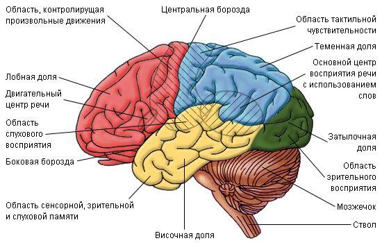 Эти 5 фактов о мозге изменят вашу жизнь 1. Мозг не видит разницы между реальностью и воображением  Мозг реагирует в равной степени на все, о чем вы думаете. В этом смысле для него нет разницы между объективной реальностью и вашими фантазиями. По этой причине возможен так называемый эффект плацебо.  Если мозг считает, что вы принимаете фармацевтический препарат (а не пилюлю с сахаром), то реагирует на него соответствующим образом. Выпил плацебо, думая, что это аспирин, и мозг даст организму…
